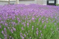 Лаванда вузьколиста Дварф Блю <br> Лаванда узколистная Дварф Блю <br> Lavandula angustifolia Dwarf Blue