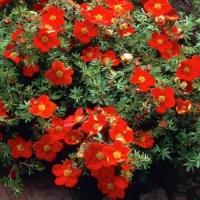 Лапчатка кущова Ред Айс <br> Лапчатка кустарниковая Ред Айс <br> Potentilla fruticosa Red Ace