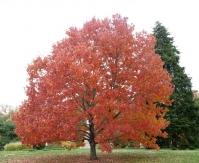 Клен червоний <br>Acer rubrum<br>Клён красный