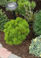 Сосна густоквiткова Жан Клаус<br>Сосна густоцветная / густоцветковая Жан Клаус<br>Pinus densiflora Jane Kluis