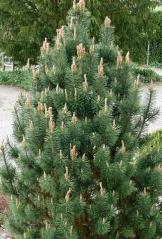 Сосна гiрська Колумбо<br>Сосна горная Колумбо<br>Pinus mugo Columbo