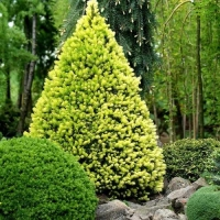 Ялина канадська / сиза Дейзі Уайт <br> Ель канадская / сизая Дейзи Уайт <br>Picea glauca Daisy's White