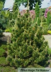 Сосна гiрська Поль Малетер<br>Сосна горная Поль Малетер<br>Pinus mugo Pal Maleter