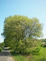 Верба козяча <br>Ива козья<br>Salix caprea