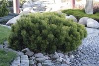 Сосна чорна Нана<br>Сосна чёрная Нана <br>Pinus nigra Nana