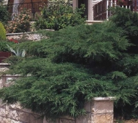 Ялівець середній Пфітцеріана <br> Можжевельник средний Пфитцериана <br> Juniperus media Pfitzeriana