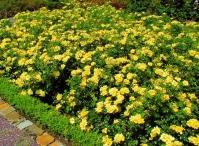 Троянда поліантова Єллоу Фейрі <br>Роза полиантовая Еллоу Фейри <br>Rosa polyantha Yellow Fairy