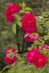 Троянда поліантова Рот зе Фейрі <br> Роза полиантовая Рот зе Фейри <br> Rosa polyantha Rote The Fairy
