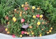 Троянда Тріколор <br> Роза Триколор <br> Rosa Tricolor