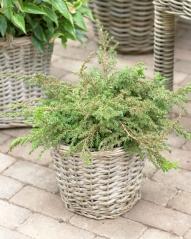 Ялівець звичайний Грінмантл / Грін Мантл <br> Можжевельник обыкновенный Гринмантл / Грин Мантл <br> Juniperus communis Greenmantle/Green Mantle