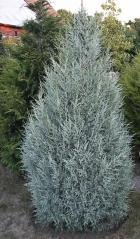 Ялівець скельний Блю Хевен <br> Можжевельник скальный Блю Хевен <br> Juniperus scopulorum Blue Heaven