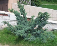 Ялівець лускатий Меєрі Компакта <br> Можжевельник чешуйчатый Мейери Компакта <br> Juniperus squamаta Meyeri Compacta