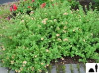 Лапчатка кущова Дейдаун <br> Лапчатка кустарниковая Дейдаун <br> Potentilla fruticosa Daydawn
