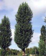 Тополя чорна Італіка <br> Тополь черный Италика <br> Populus nigra Italica
