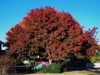 Дуб червоний <br> Дуб красный <br> Quercus rubra