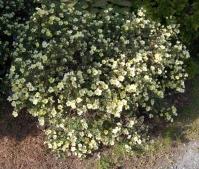 Лапчатка кущова Прімроуз Б'юті<br>Potentilla fruticosa Primrose Beauty<br>Лапчатка кустарниковая Примроуз Бьюти