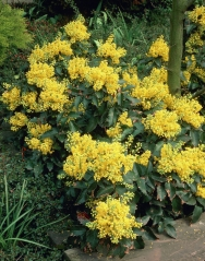 Магонія падуболиста Апполо <br> Магония падуболистная Аполло <br>Mahonia aquifolium Apollo