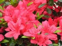 Рододендрон Мадам Галле / Азалія <br> Рододендрон Мадам Галле / Азалия <br> Rhododendron Madame Galle / Azalea