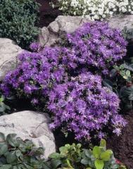 Рододендрон Блю Тіт Мажор <br>Рододендрон Блю Тит Мажор<br>Rhododendron Blue Tit Magor