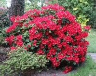 Рододендрон Скарлет Вондер <br>Rhododendron Scarlet Wonder