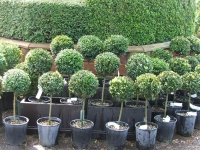 Самшит вічнозелений КУЛЯ на штамбі<br>Buxus sempervirens ball on shtambe<br>Самшит вечнозелёный ШАР на штамбе