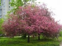 Яблуня райська декоративна <br>Яблоня райская декоративная <br>Malus Paradise Apple