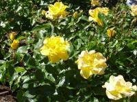 Троянда Голден Фаєр <br> Роза Голден Фаер <br> Rosa Golden Fire