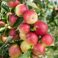 Яблуня домашня Лігол (зимова) <br>Яблоня домашняя Лигол (зимняя) <br>Malus domestica Ligol