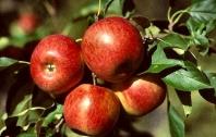 Яблуня Райська плодова (осіння) <br>Malus Paradise Apple