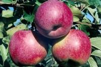 Яблуня домашня Флоріна (зимова) <br>Яблоня домашняя Флорина (зимняя) <br>Malus domestica Florina