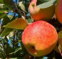 Яблуня домашня Чемпіон (осіння) <br>Яблоня домашняя Чемпион (осенняя) <br>Malus domestica Champion
