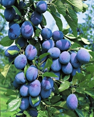 Слива колоновидна Імперіал (середня)<br>Слива колоновидная Империал (средняя)<br>Prunus domestica Imperial