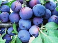 Слива домашня Стенлей (осіння) <br>Слива домашняя Стенлей (осенняя) <br>Prunus domestica Stanley