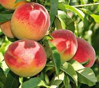 Персик домашній Редхейвен (середній) <br>Персик домашний Редхейвен (средний) <br>Prunus persica Redhaven