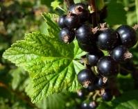 Смородина чорна Білоруська (рання) <br>Смородина черная Белорусская (ранняя) <br>Ribes nigrum Belarusi