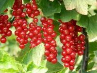 Смородина червона Рондом (пізня) <br>Смородина красная Рондом (поздняя) <br>Ribes rubrum Rоndom