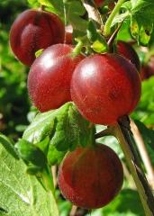 Агрус Колобок (середній) <br>Крыжовник Колобок (средний) <br>Ribes uva-crispa Bun