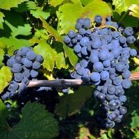 Виноград Маршал Фош <br>Виноград Маршал Фош <br>Vitis vinifera Marechal Foch