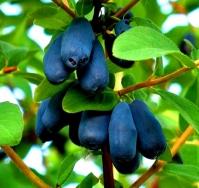Жимолость камчатська Атут (їстівна)<br>Lonicera kamtschatica Atut (edible)<br>Жимолость камчатская Атут (съедобная)
