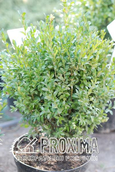 Лучшее вечнозелёное растение для бордюров