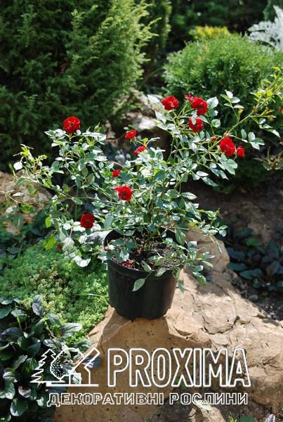 Лучшие сорта почвопокровных роз для Украины