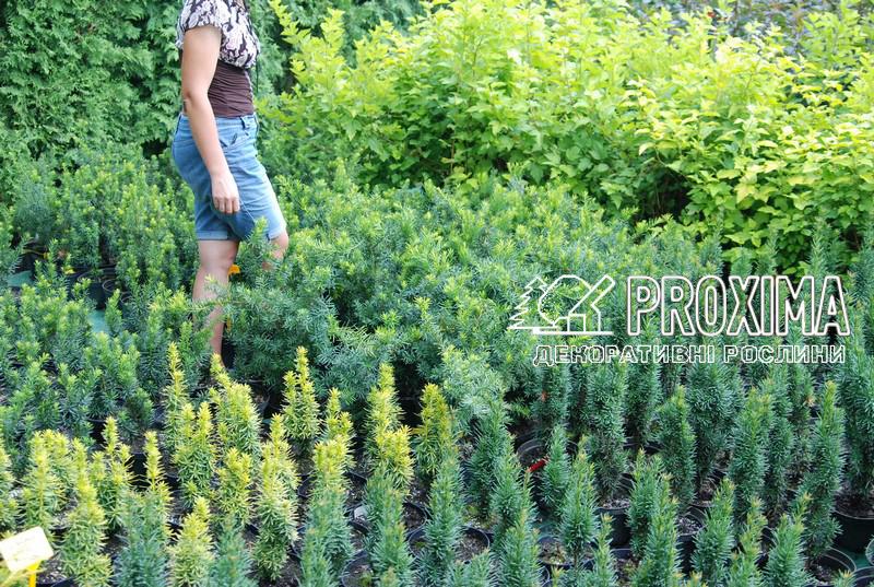 Питомник растений Proxima занимается интродукцией более 10 сортов тиса