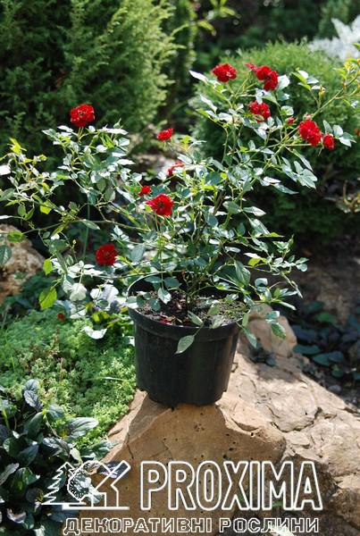 Постоянно обновляемый ассортимент почвопокровных розы