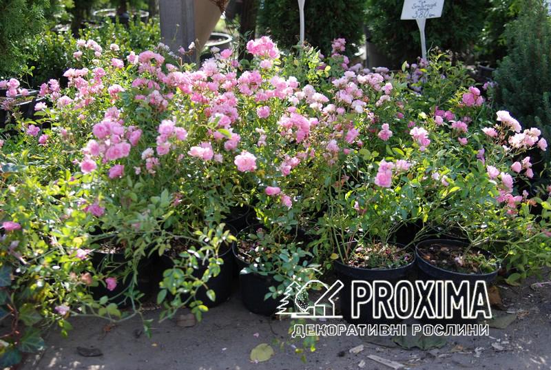 Почвопокровная роза  Rosa polyantha The Fairy