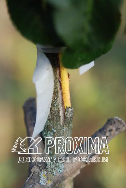 Прививка бересклета Proxima