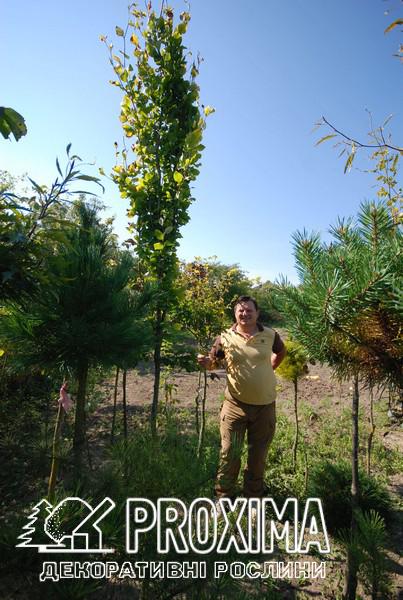 Прививка хвойных и лиственных растений в Украине