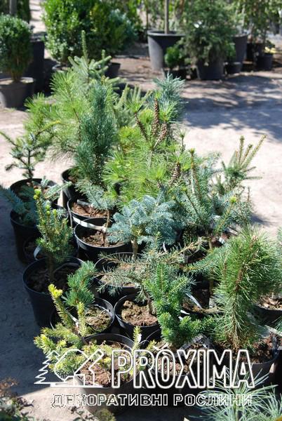 Привитые хвойные растения в контейнерах