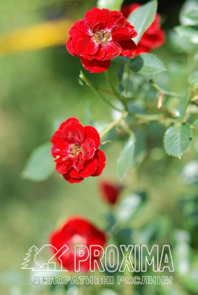 Роза красная самые популярные почвопокровные сорта