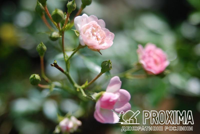 Роза розовая сорта
