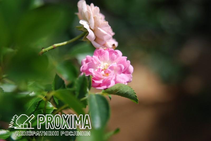 Роза розового цвета полиантовая Киев